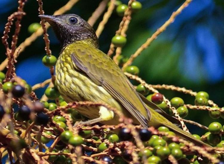 Araponga Fêmea