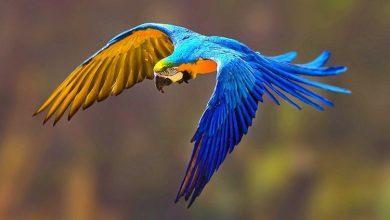 Arara Azul Reprodução