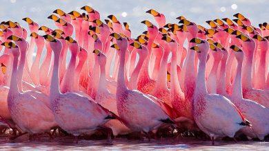 Flamingo Caracteristicas