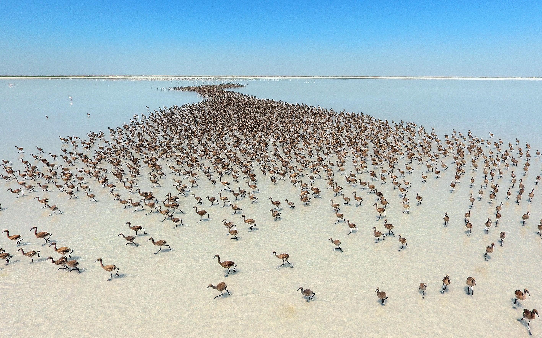 Filhotes de Flamingos