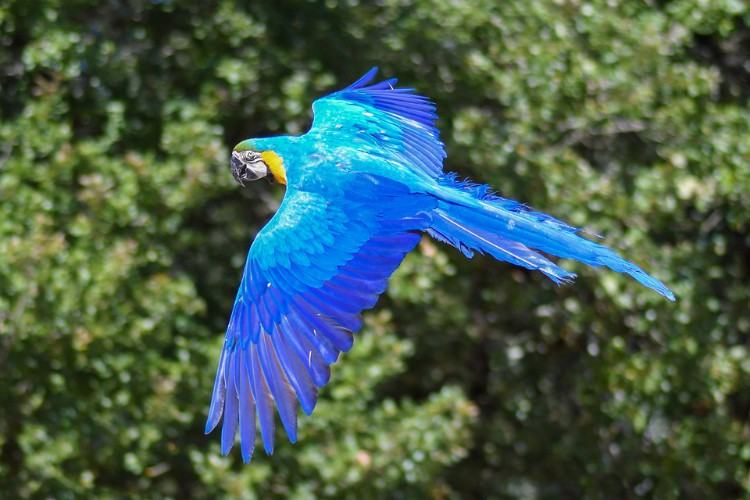 Hábitos da Arara Azul