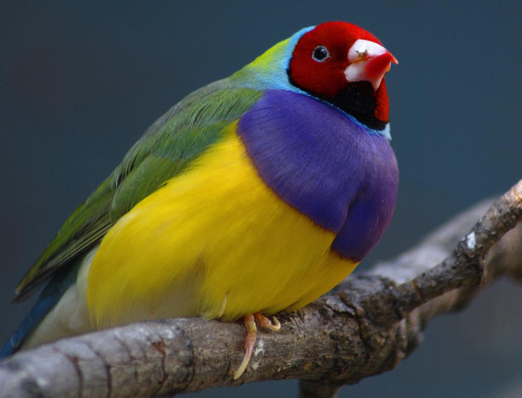 Pássaro Diamante