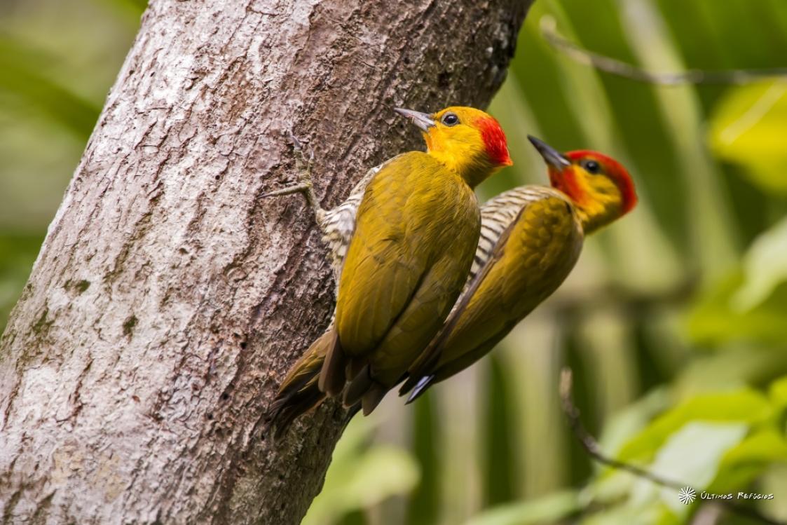 Pica-Pau: Alimentação, Ciclo de Vida e Habitat!