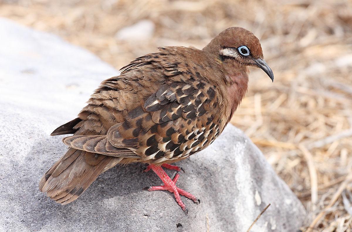 Pombo de Galápagos habitat