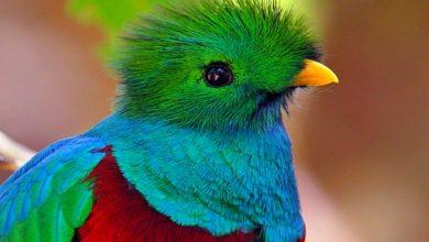 Quetzal passaro