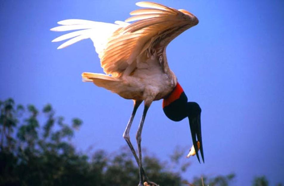 Tuiuiu do pantanal