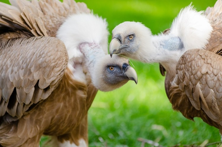abutres