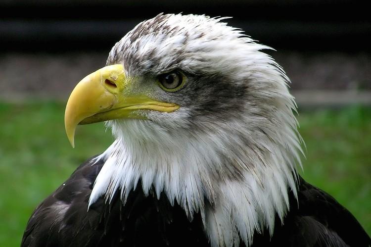 águia careca