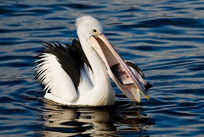 alimentação do pelicano