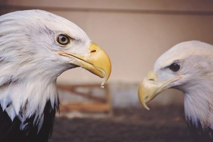 alimentação da águia careca