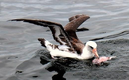 alimentação do albatroz
