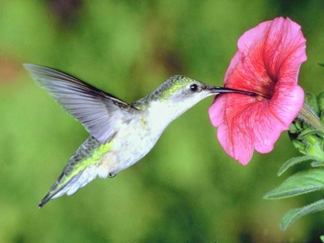 alimentação do beija flor