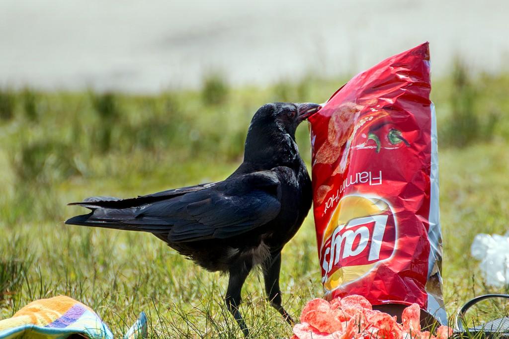 alimentação do corvo