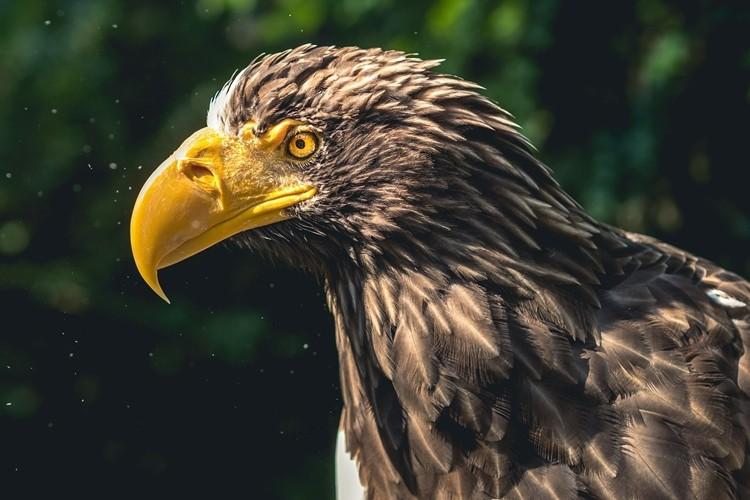 alimentação da águia
