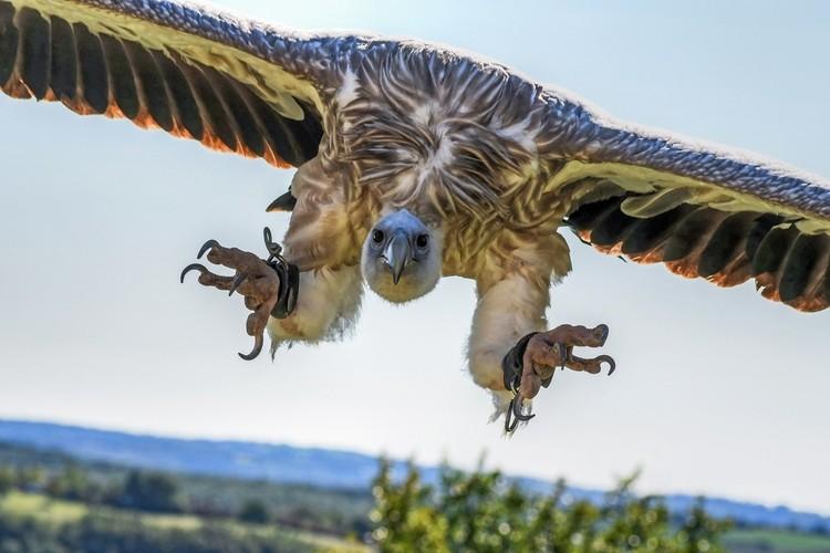 alimentação do abutre
