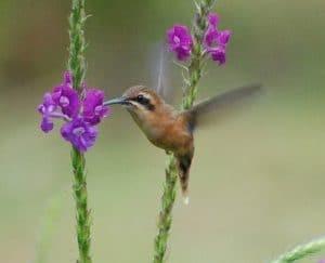 beija flor eremita