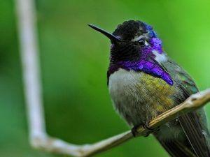 beija flor violeta