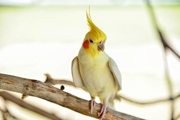 Calopsita Amarela