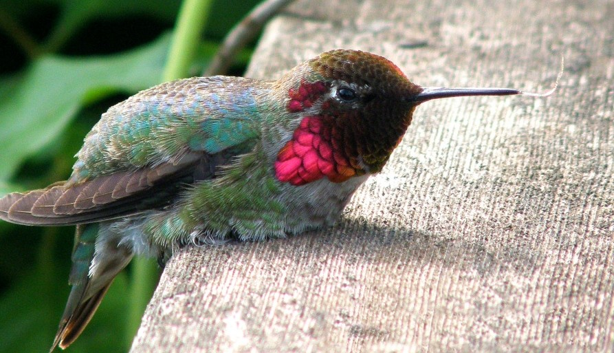 caracteristicas do beija flor