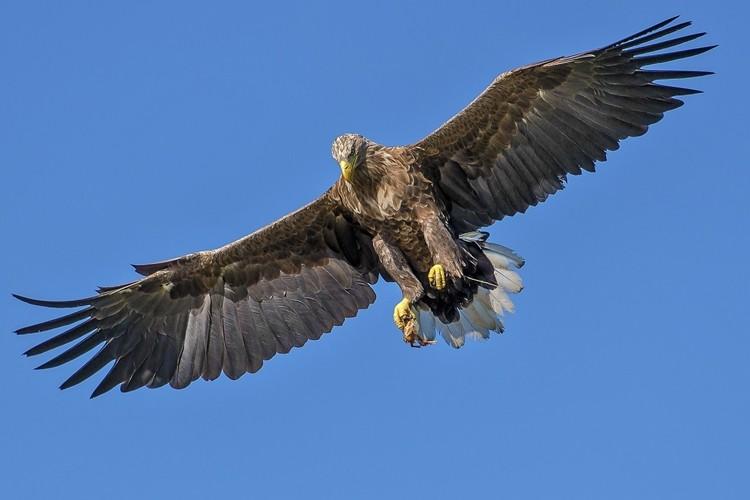 comportamento da águia