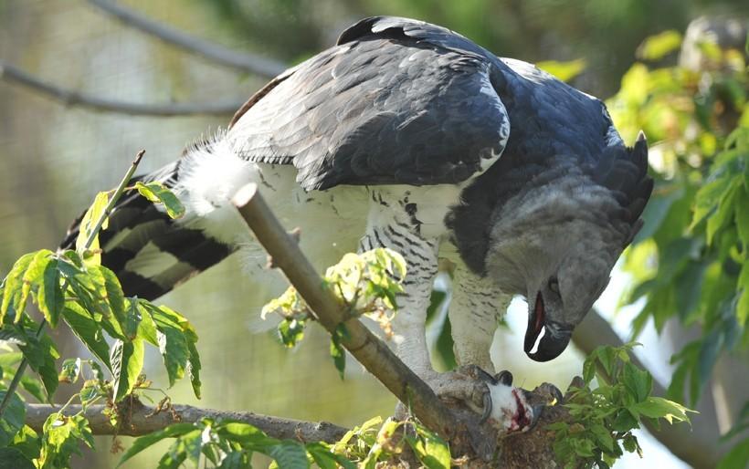 águia Harpia