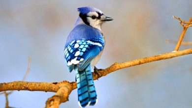Gaio-azul