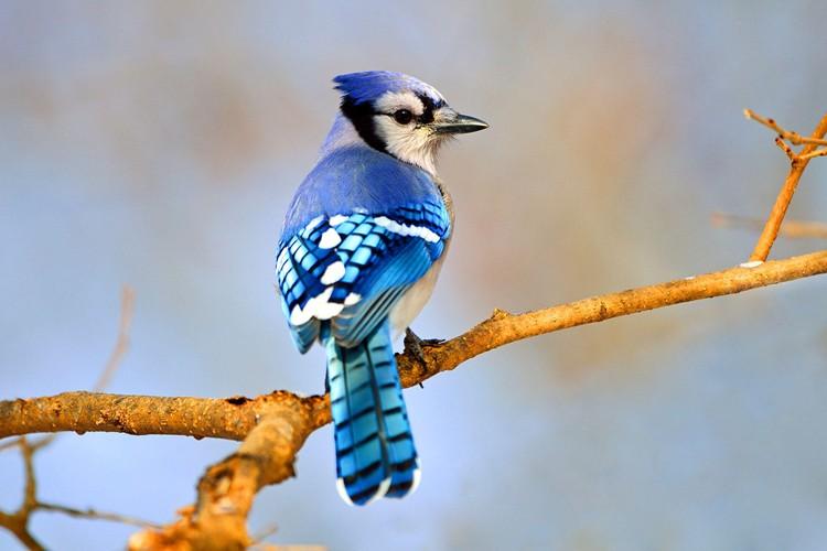 Habitat do Gaio-azul