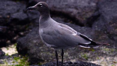 gaivota da lava