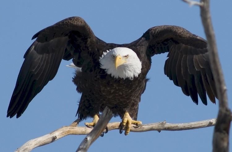 habitat da águia careca