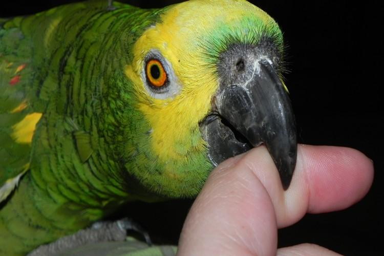 habitat do papagaio
