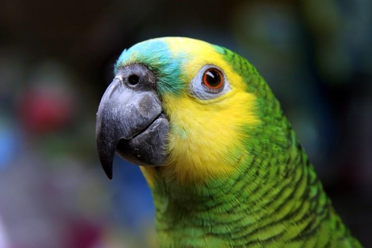 papagaio de estimação