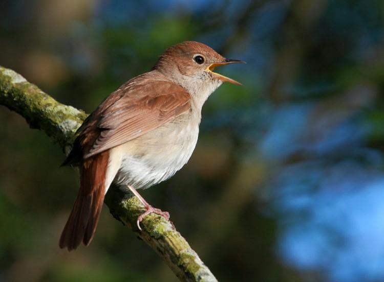 Pássaro Rouxinol Brasileiro