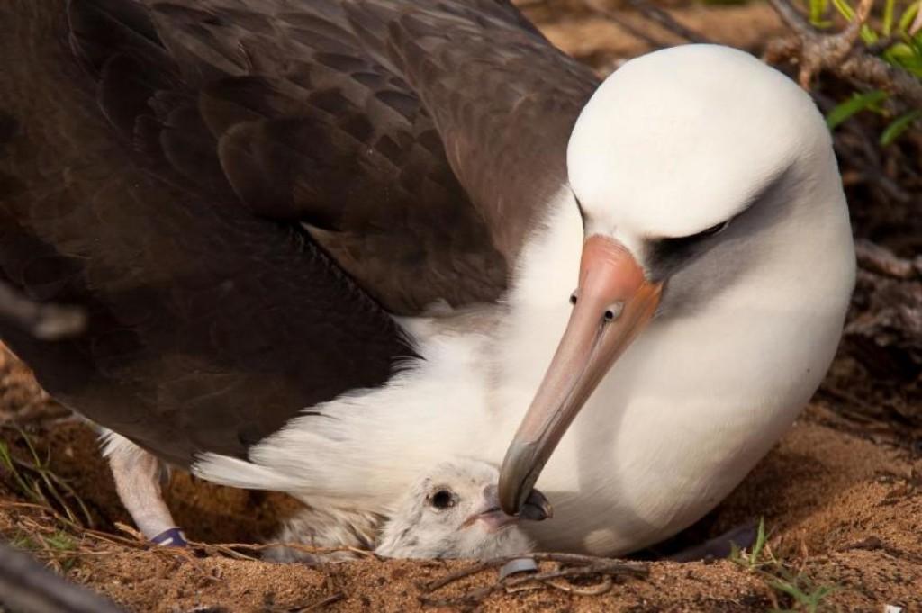 reprodução do albatroz