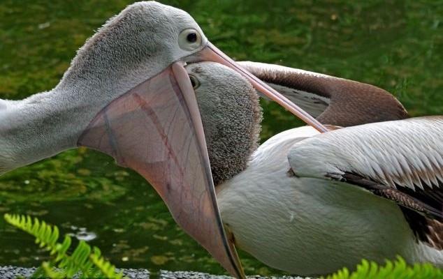 reprodução do pelicano