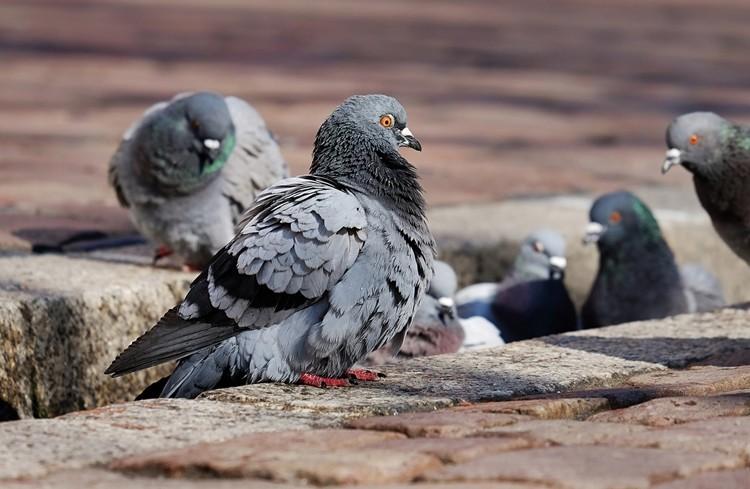 reprodução do pombo