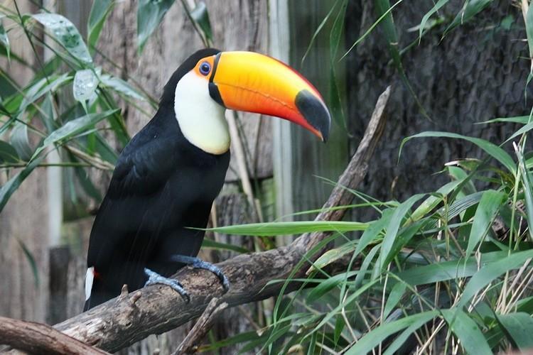 reprodução do tucano