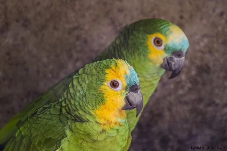 tamanho do papagaio