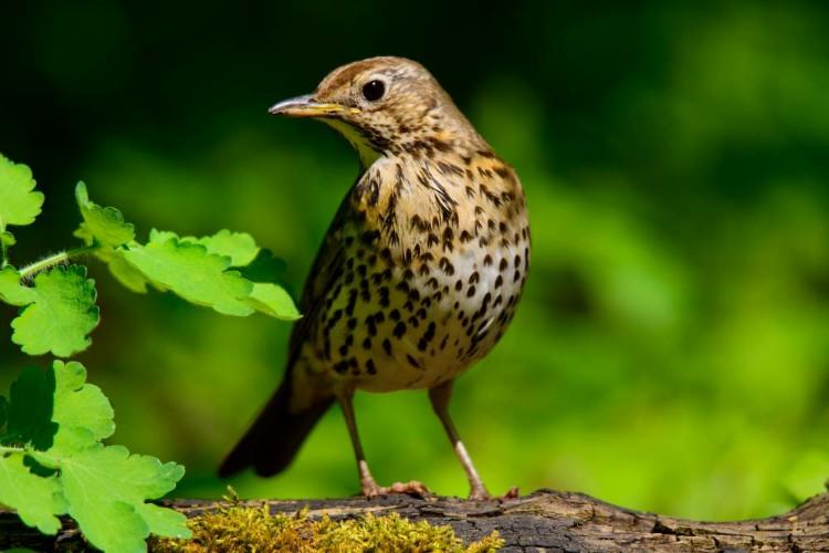 Tordo ave