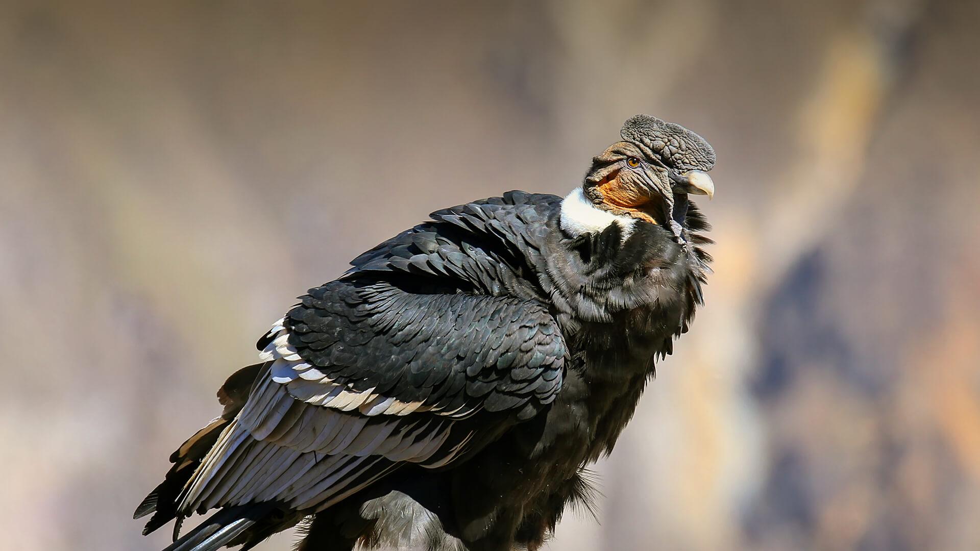 Condor dos Andes Alimentação