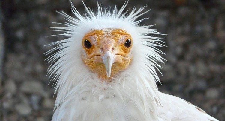 abutre do Egito