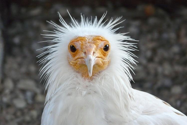 abutre do Egito alimentação