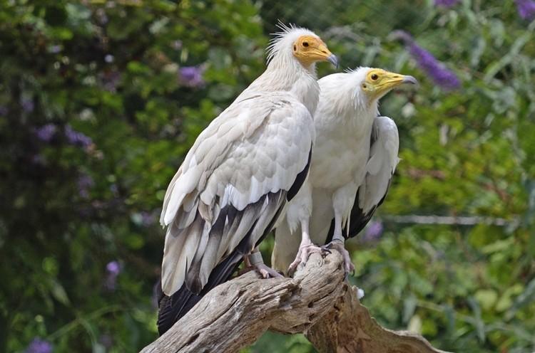 abutre do Egito reprodução