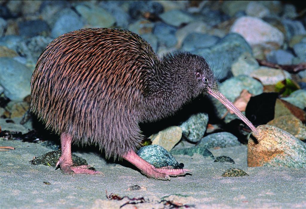 Comportamento do Kiwi
