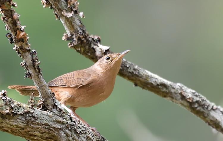 corruíra-habitat