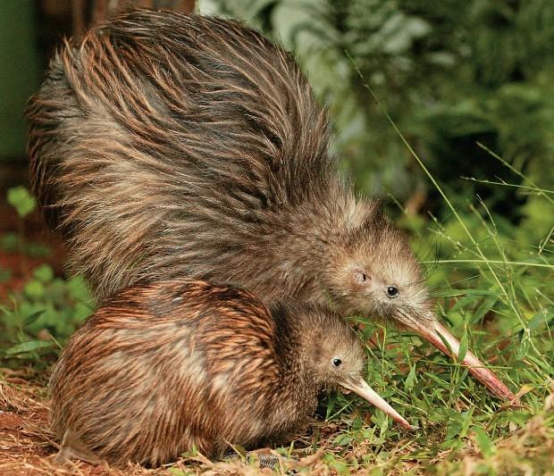 kiwi filhote