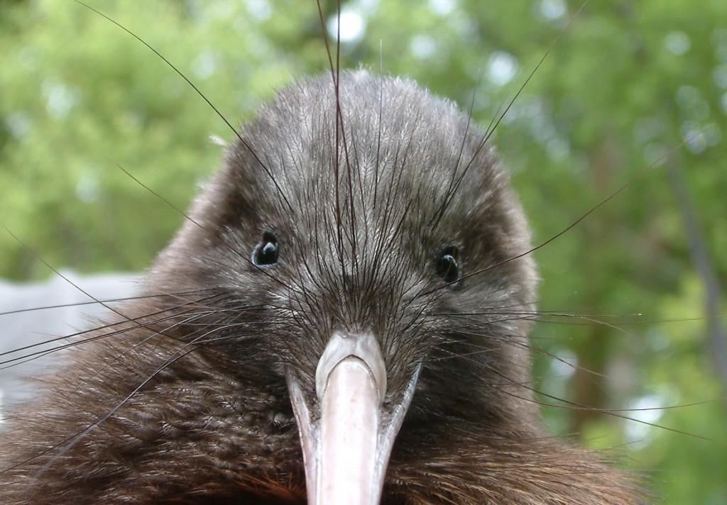 Predadores do Kiwi