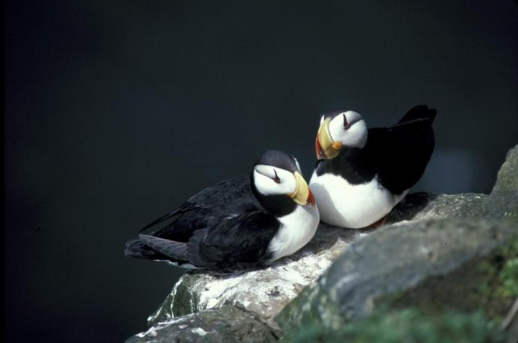 papagaio-do-mar reprodução