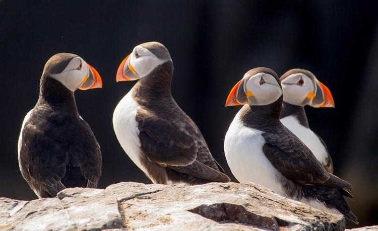 papagaio-do-mar