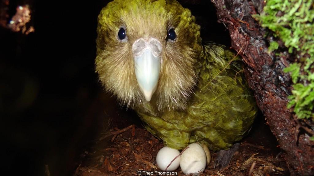 Reprodução do Kakapo