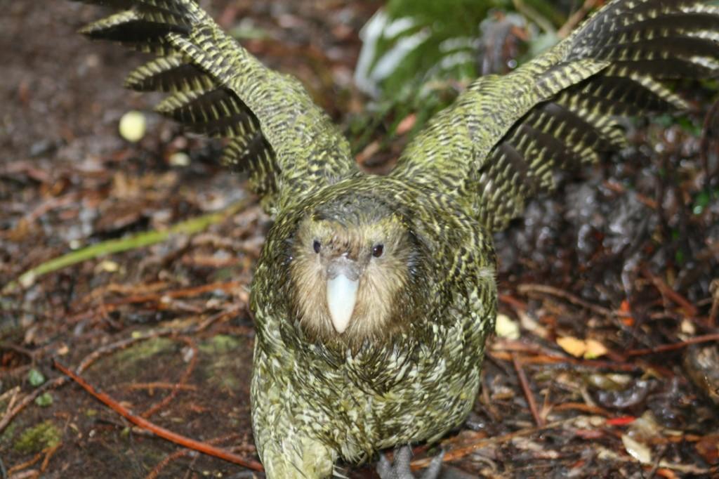Características do Kakapo